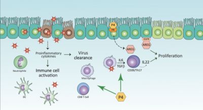 Activated immune cells clear from the virus infection, which damaged respiratory cells